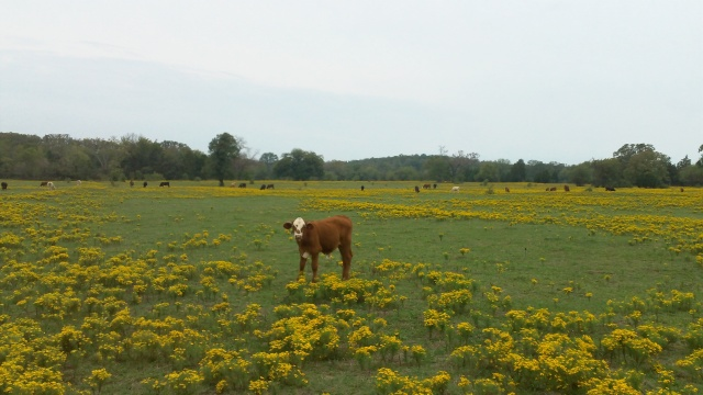 flowers and cattle