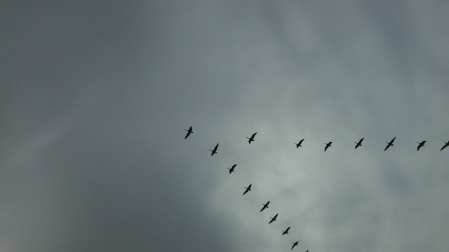 wild geese make a break from the shelling