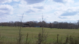 cows tasting fresh green grass