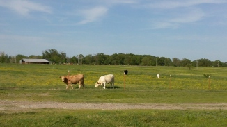 cattleziz