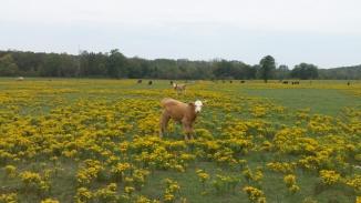 cattleinbloom